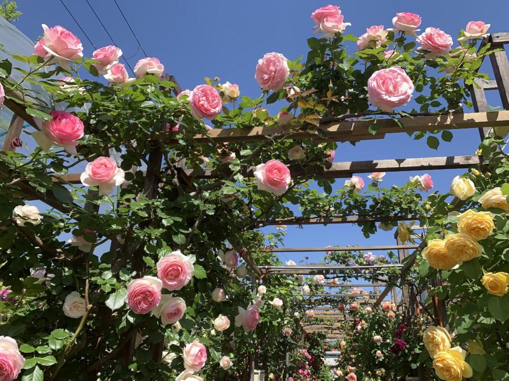 狭山のバラ